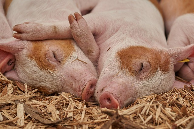 Subsidie voor bedrijfsbeëindiging varkenshouders